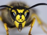 Wasp venom cancer