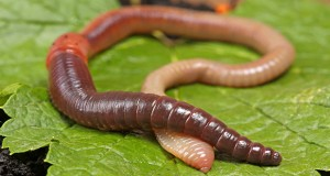 A molecule – called drilodefensins - in the gut of earthworms allows them to digest plant material.