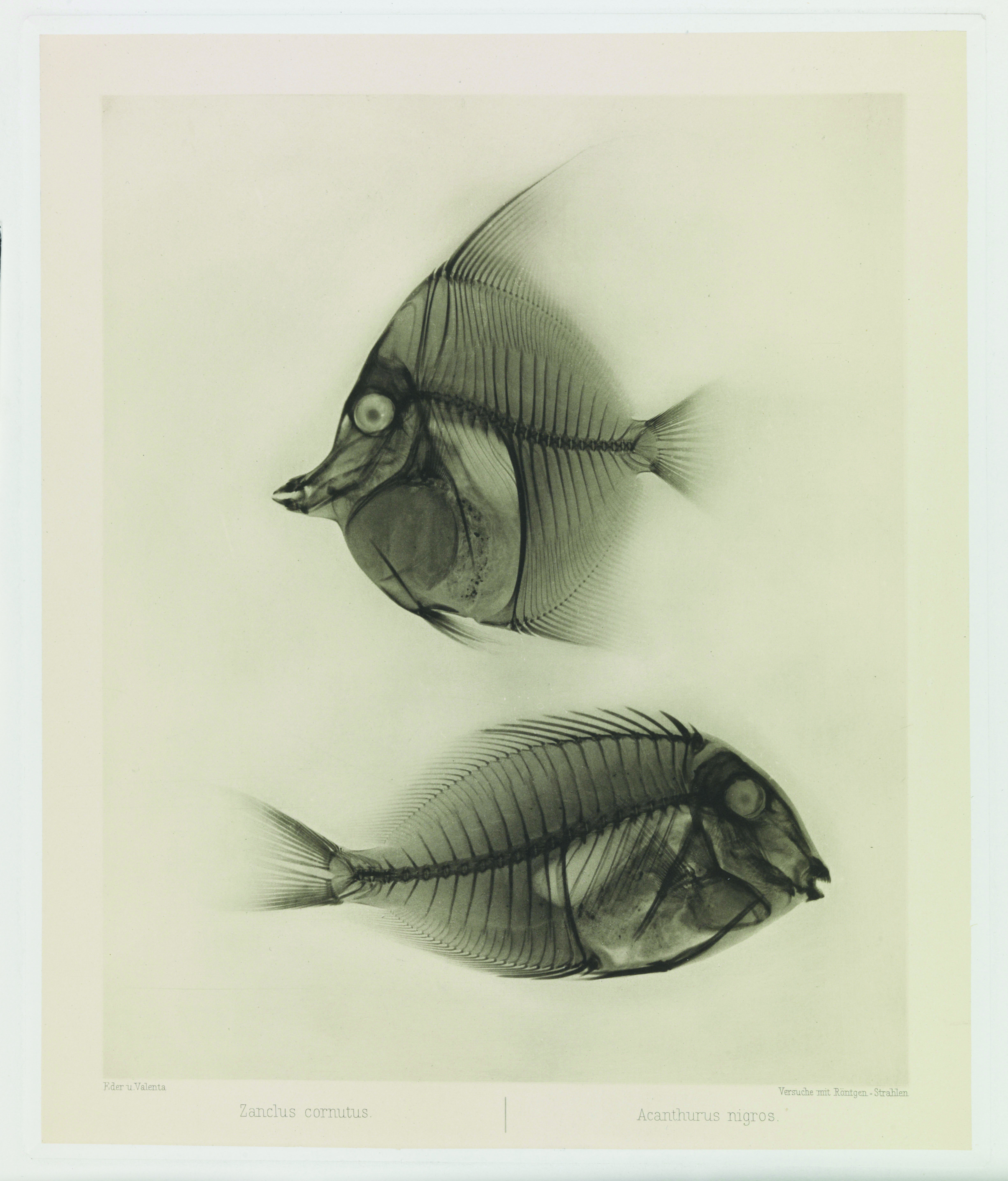 images of distinction u2013 x ray of angelfish u0026 surgeonfish 1896
