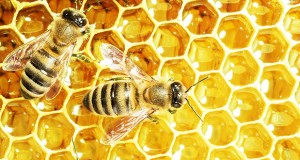 The blood protein vitellogenin in bees acts as a natural immunisation against specific diseases.