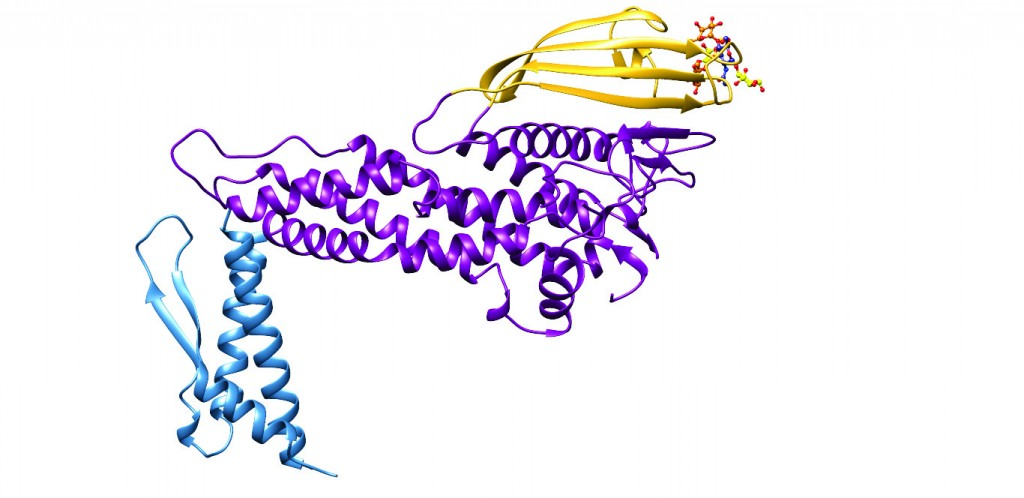 Figure 1: Ribbon diagram of the three-dimensional structure of the extracellular domain of the H. pylori adhesin BabA obtained through X-ray crystallography6. Three major regions can be recognised, the handle (blue), the head (violet) and the crown (gold). Located near the tip of the (golf putter-shaped) adhesin, is the shallow site responsible for binding of Lewisb.