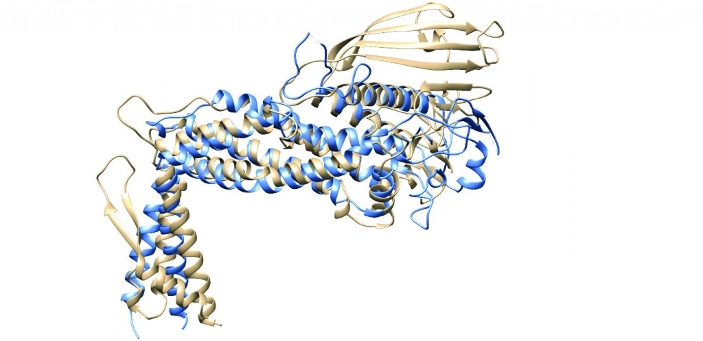 Figure 2: Ribbon diagrams representing the superimposed structures of the extracellular regions of BabA (tan)6 and SabA (blue)7, showing the similarity in the general fold between the two H. pylori adhesins. This finding was quite unexpected due to the low level of sequence identity (26%) between the extracellular regions of the two proteins at the amino acid level. Note the same marked kinked angle between the handle and the head region, and the lack of a crown region in SabA.
