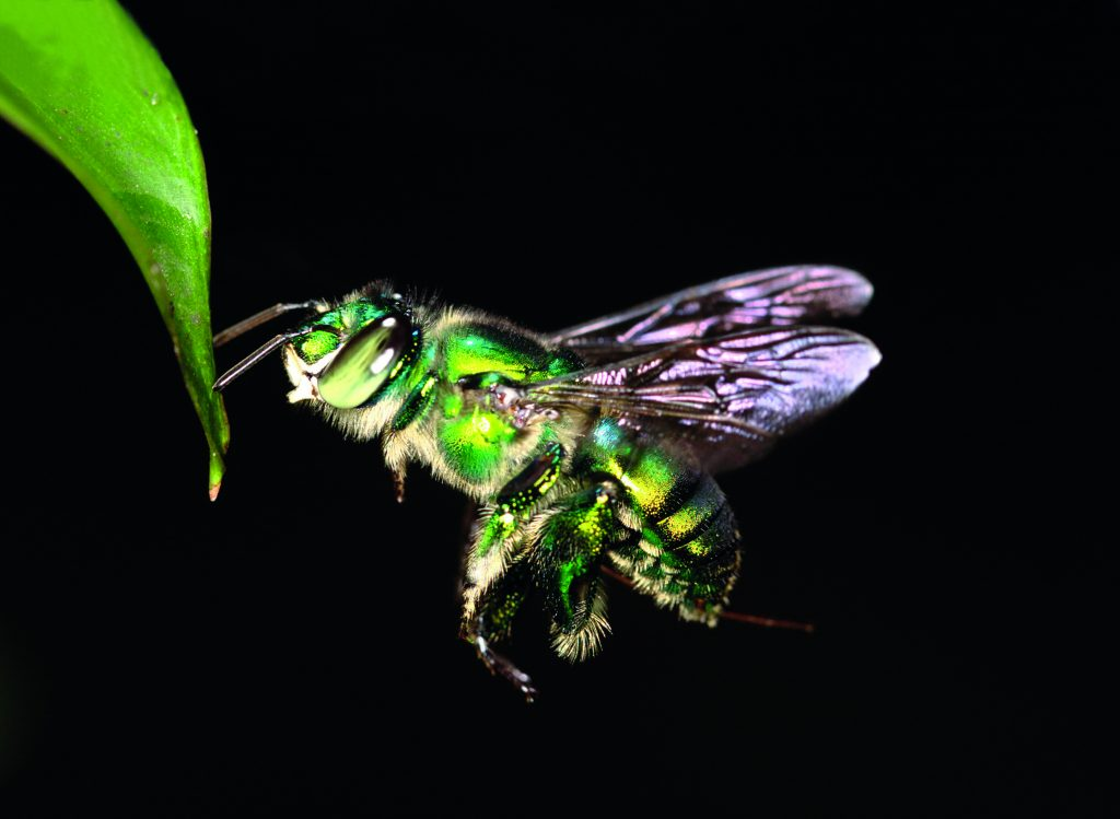 Figure 1a. The Euglossa imperialis orchid bee in flight.