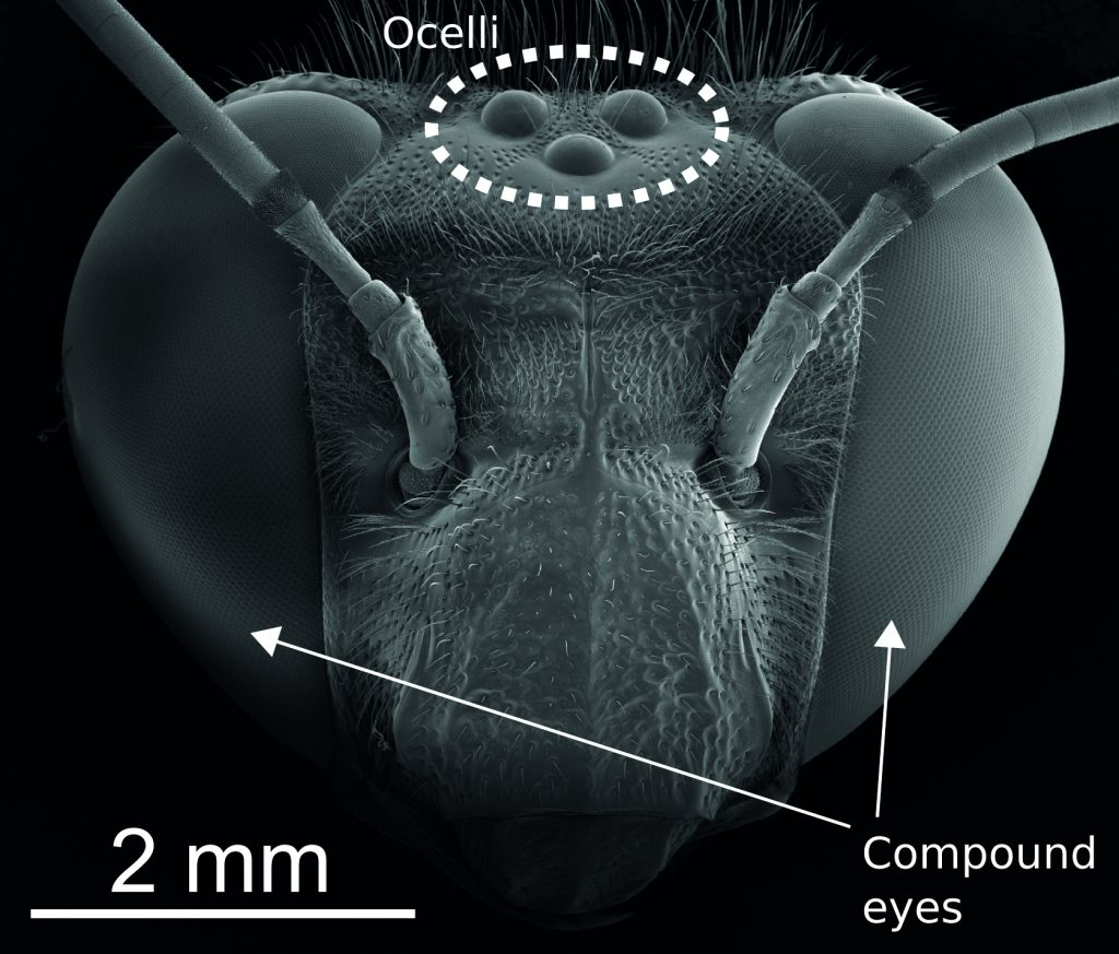 Figure 2. SEM showing that orchid bees have five eyes. Two huge compound eyes cover the sides of the insect's head, and comprise thousands of lenses each. The single-lensed ocelli face upwards. (Reproduced from2 with permission from Elsevier.)