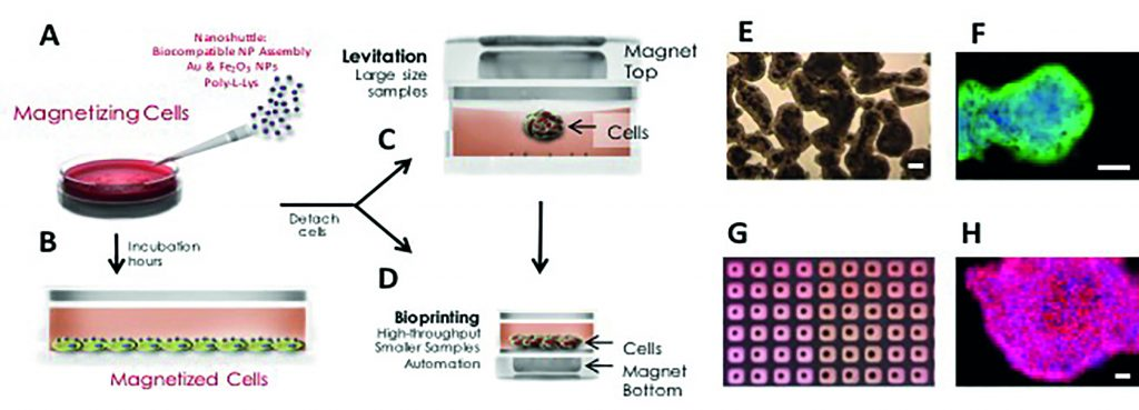 Magnetic 3D cell culturing. (A) Nanoshuttle is disbursed over the cells, (B) which are then incubated for several hours. Cells are detached and transferred to a new tissue culture plate and then (C) cultured in 3D by magnetic levitation or (D) magnetically 3D bioprinted. (C, E, F) For 3D-cell culturing by magnetic levitation, the drive is placed on top of the tissue culture dish, and cells are magnetically lifted off the bottom. (D, G, H) For magnetic 3D bioprinting, a patterned magnetic drive is placed at the bottom of a cell-repellent tissue-culture plate. Cells rapidly assemble (minutes) into a shape mirroring the shape of the magnets, typically arrays of rings or a dots. Cell-repellent tissue-culture plate is required to prevent cells from adhering and growing as a monolayer in 2D. (E) Bright-field micrograph of levitating human primary fibroblasts after 12 hours of levitation. (F) Magnetically levitated 3D culture of human primary bronchial epithelial cells levitated for 48 hours, with immunohistochemical staining for E-Cadherin (green; nuclei were counterstained with DAPI, blue). (G) Photograph of bioprinted spheroids in 384-well plate. (H) Immunohistochemical staining of a magnetically bioprinted spheroid of mouse 3T3 fibroblasts for fibronectin (red; nuclei were counterstained with DAPI, blue). All scale bars are 50 ?m.